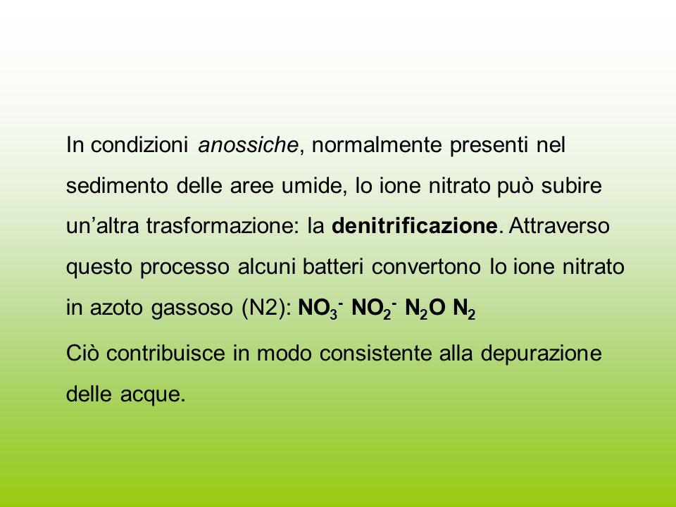 In condizioni anossiche, normalmente presenti nel sedimento delle aree umide, lo ione nitrato può subire un'altra trasformazione: la denitrificazione. Attraverso questo processo alcuni batteri convertono lo ione nitrato in azoto gassoso (N2): NO3- NO2- N2O N2