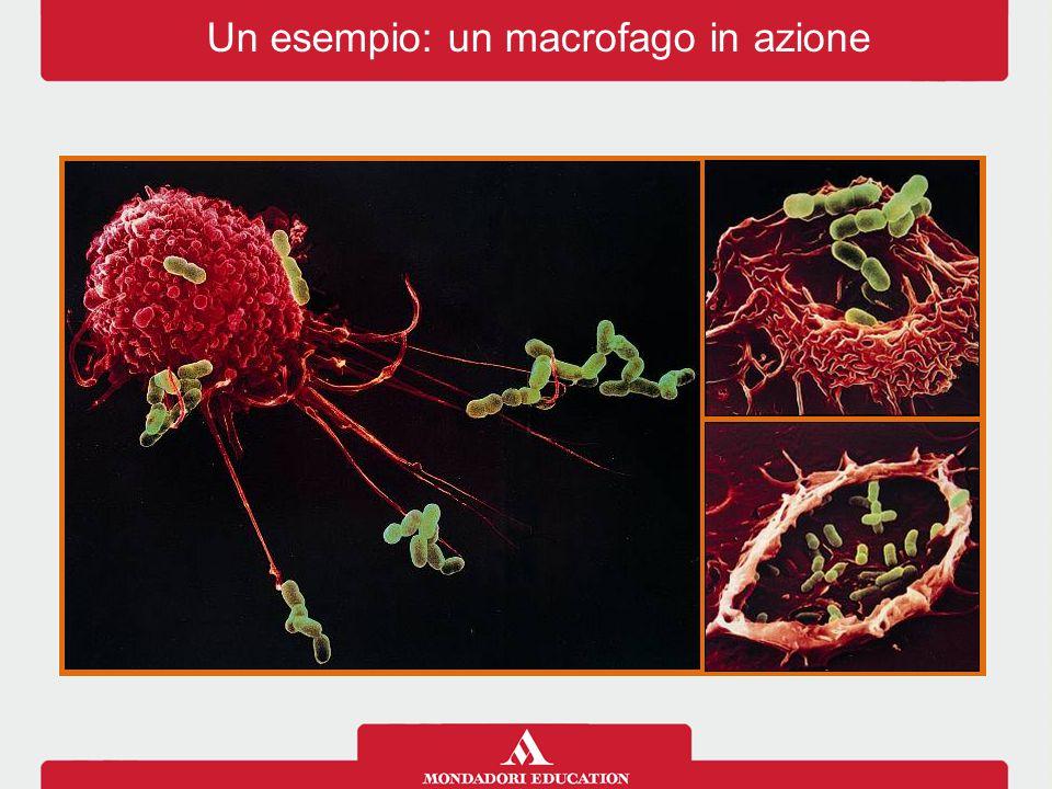 Un esempio: un macrofago in azione