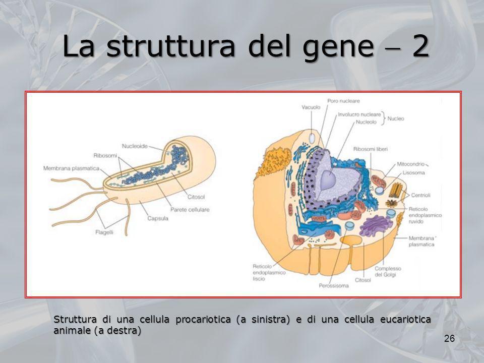 La struttura del gene  2Struttura di una cellula procariotica (a sinistra) e di una cellula eucariotica animale (a destra)