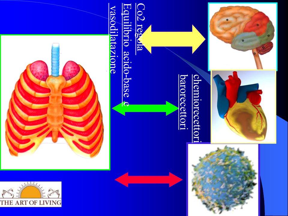 Co2 regola Equilibrio acido-base e vasodilatazione chemiorecettori barorecettori