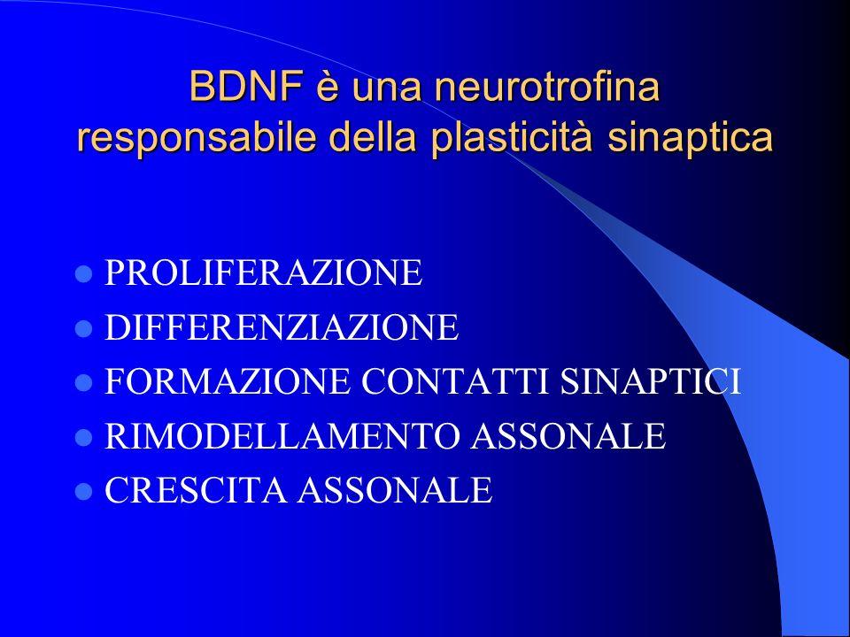 BDNF è una neurotrofina responsabile della plasticità sinaptica