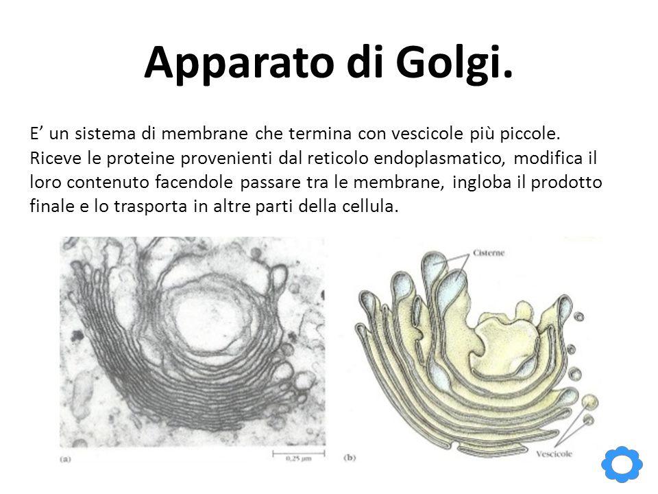 Apparato di Golgi. E' un sistema di membrane che termina con vescicole più piccole.