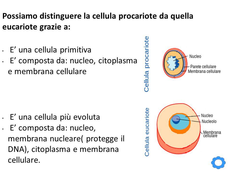 Possiamo distinguere la cellula procariote da quella eucariote grazie a: