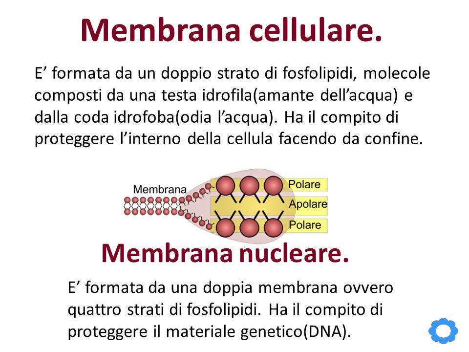Membrana cellulare. Membrana nucleare.