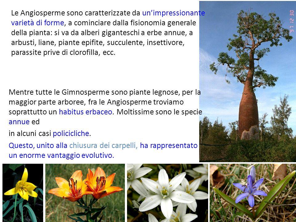 Le Angiosperme sono caratterizzate da un'impressionante varietà di forme, a cominciare dalla fisionomia generale della pianta: si va da alberi giganteschi a erbe annue, a arbusti, liane, piante epifite, succulente, insettivore, parassite prive di clorofilla, ecc.