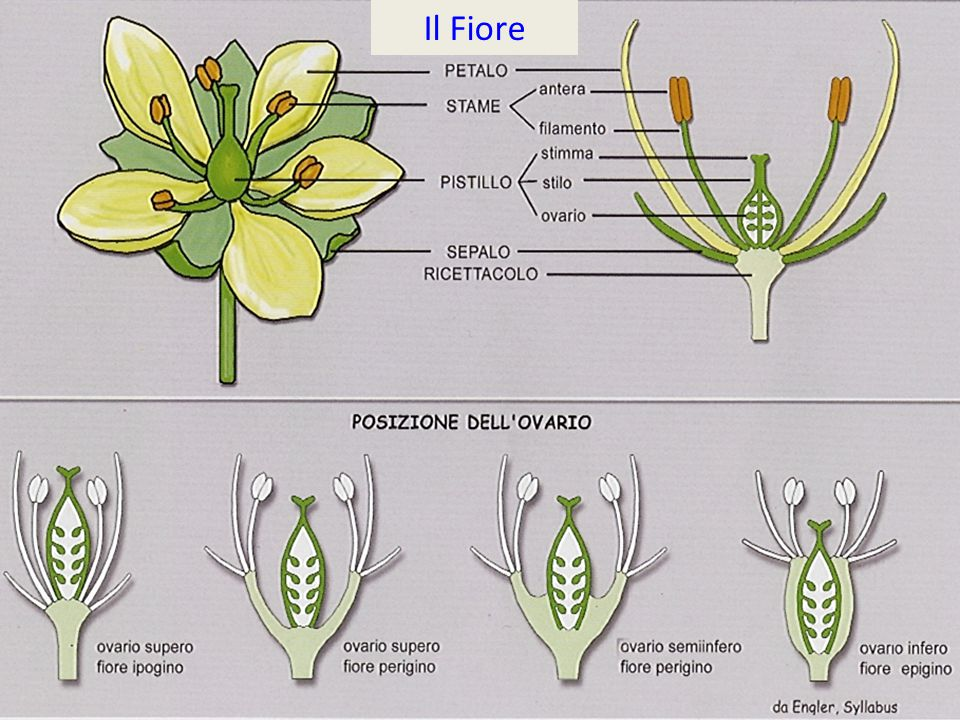 Il Fiore