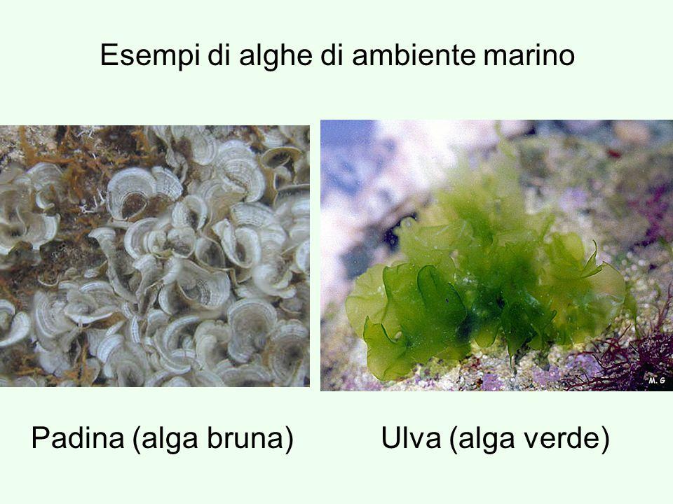 Esempi di alghe di ambiente marino