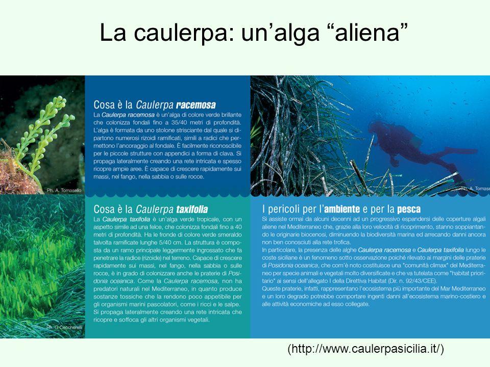 La caulerpa: un'alga aliena
