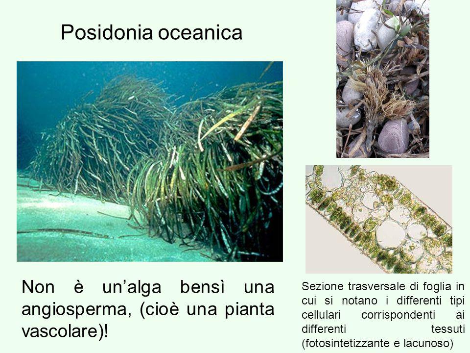 Posidonia oceanica Non è un'alga bensì una angiosperma, (cioè una pianta vascolare)!