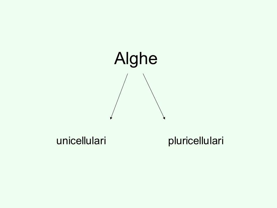 Alghe unicellulari pluricellulari