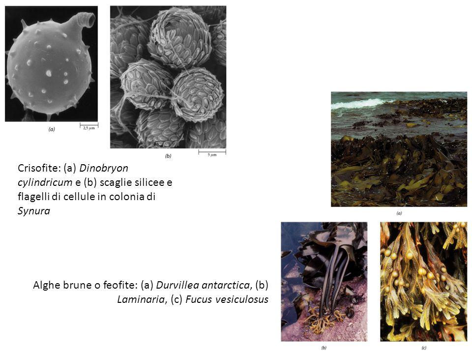 Crisofite: (a) Dinobryon cylindricum e (b) scaglie silicee e flagelli di cellule in colonia di Synura