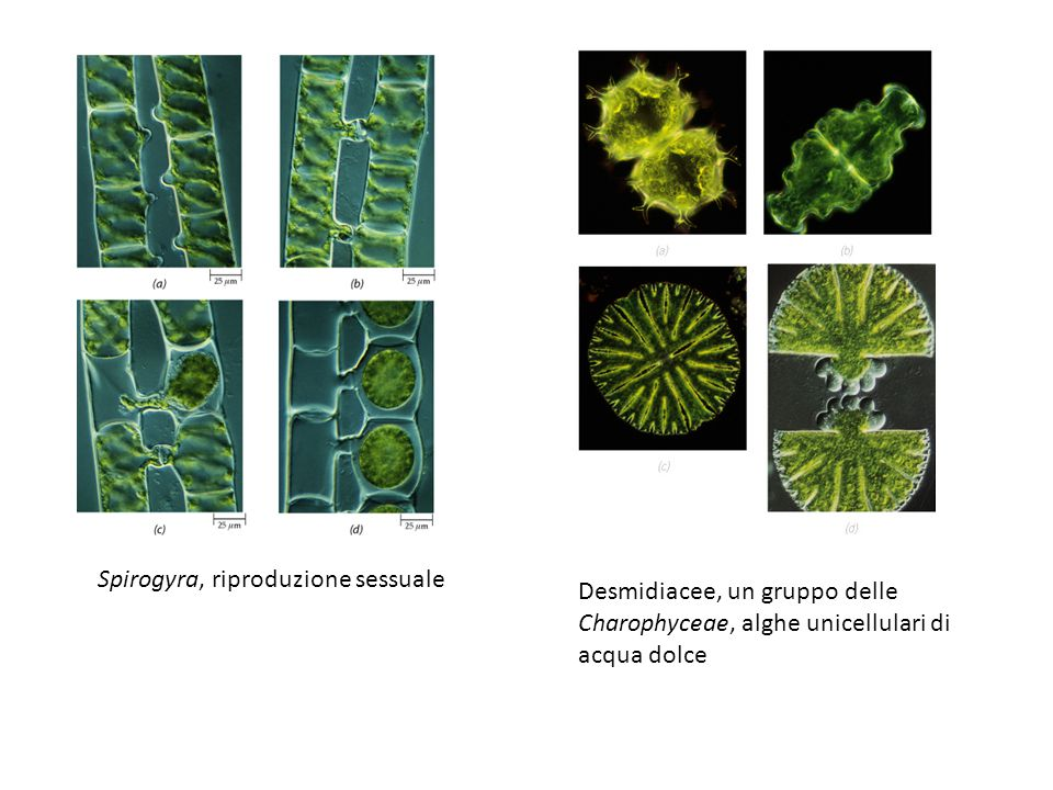 Spirogyra, riproduzione sessuale