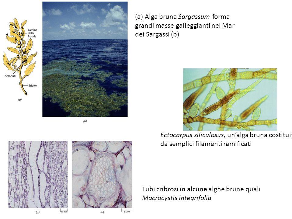 (a) Alga bruna Sargassum forma grandi masse galleggianti nel Mar dei Sargassi (b)