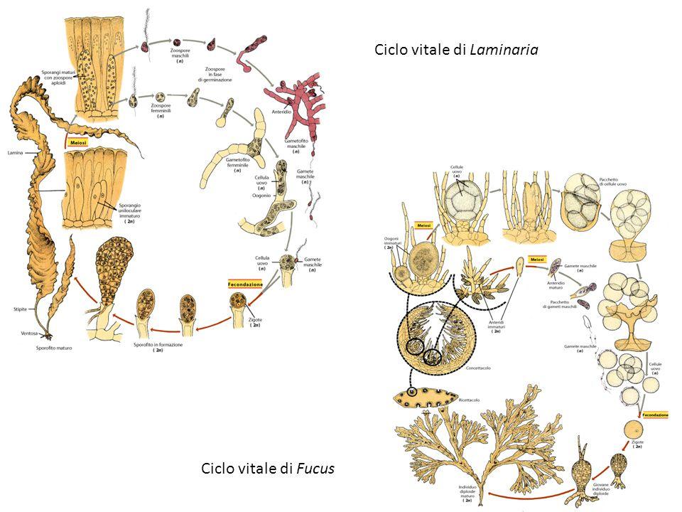 Ciclo vitale di Laminaria