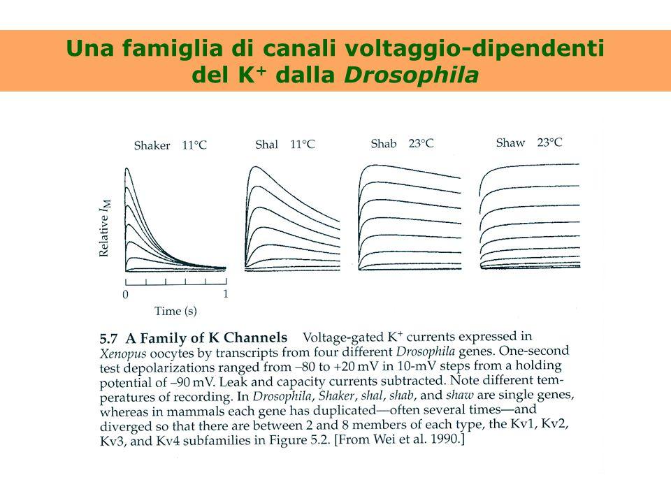 Una famiglia di canali voltaggio-dipendenti del K+ dalla Drosophila