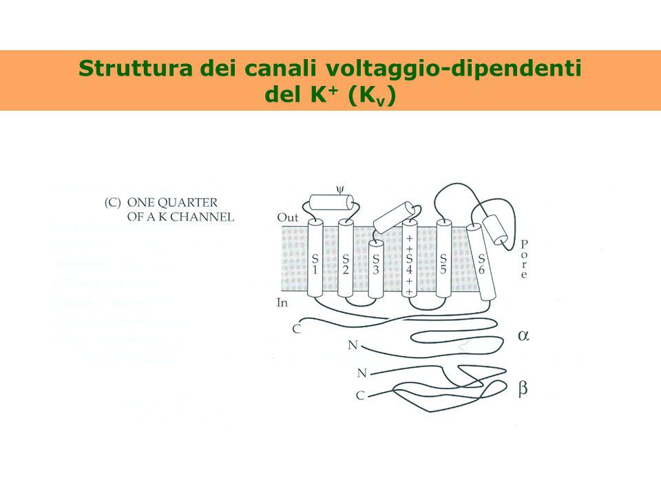 Struttura dei canali voltaggio-dipendenti del K+ (Kv)