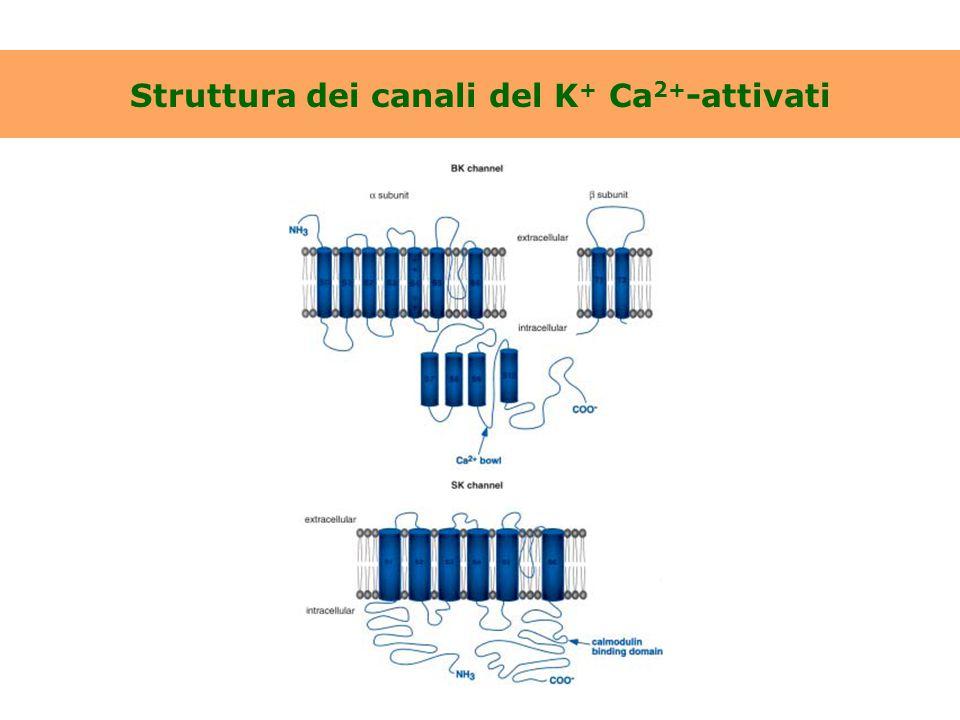 Struttura dei canali del K+ Ca2+-attivati