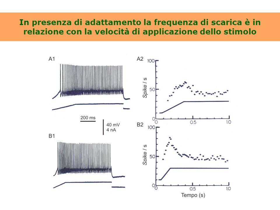 In presenza di adattamento la frequenza di scarica è in relazione con la velocità di applicazione dello stimolo