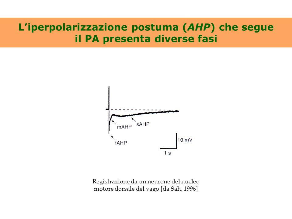 L'iperpolarizzazione postuma (AHP) che segue il PA presenta diverse fasi