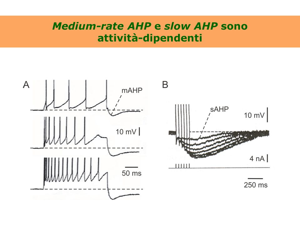 Medium-rate AHP e slow AHP sono attività-dipendenti