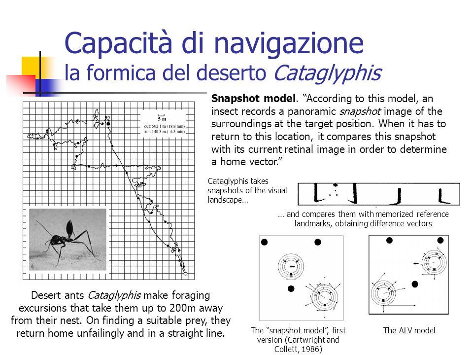 Capacità di navigazione la formica del deserto Cataglyphis