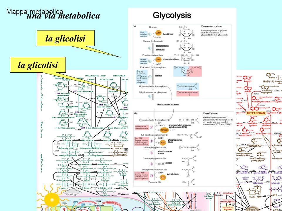una via metabolica la glicolisi la glicolisi La glicolisi