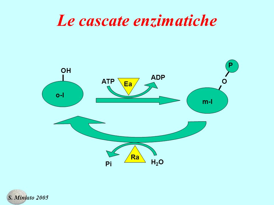 Le cascate enzimatiche