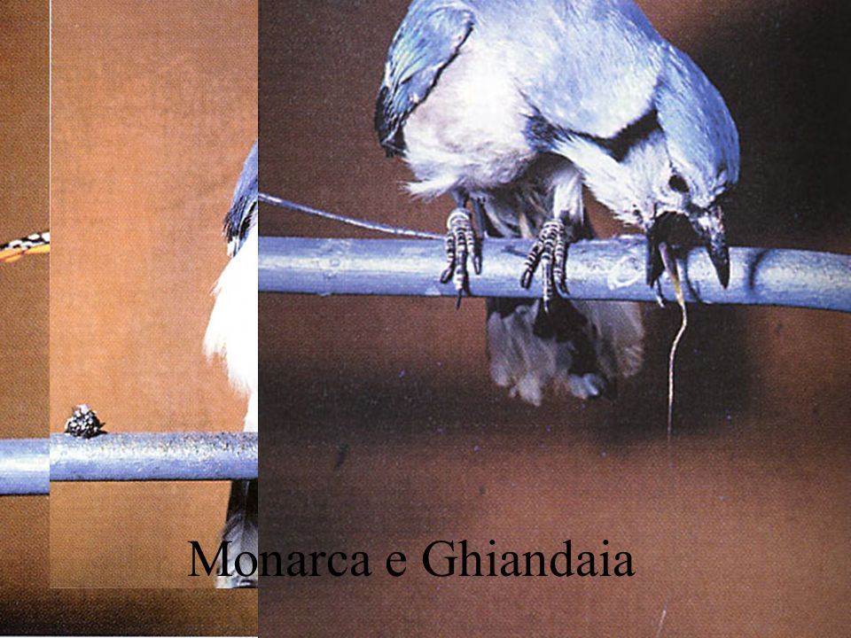 Monarca e Ghiandaia