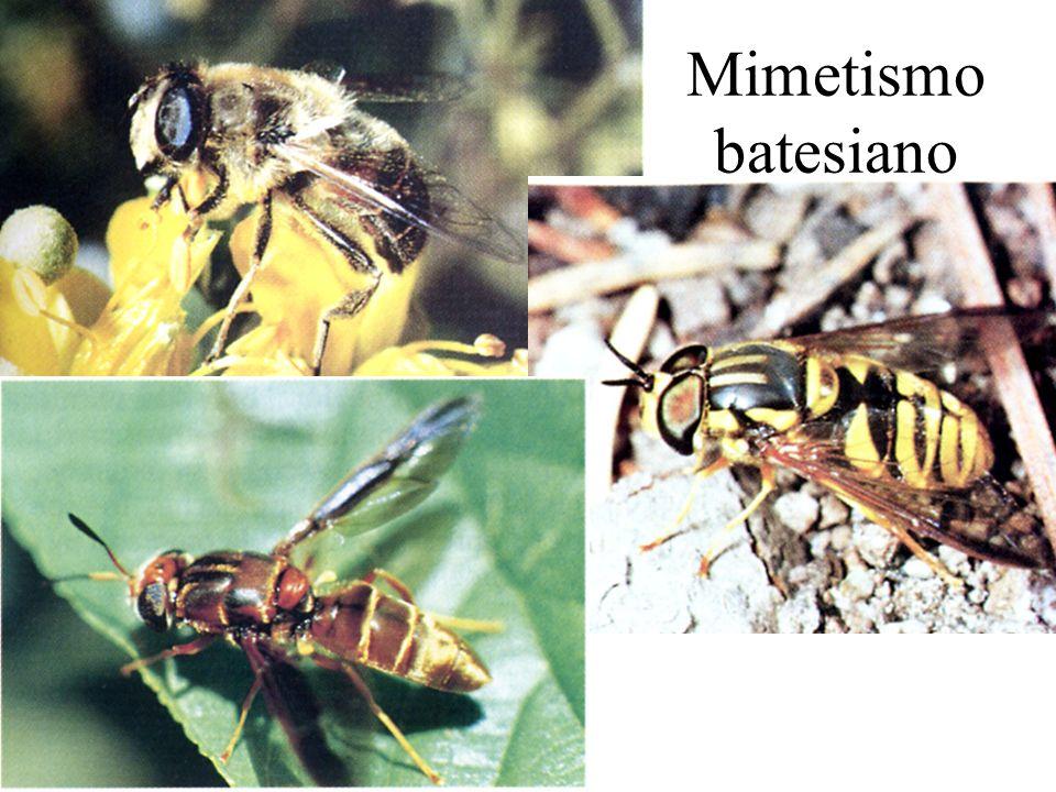 Mimetismo batesiano Mimetismo batesiano -ditteri che imitano gli imenotteri