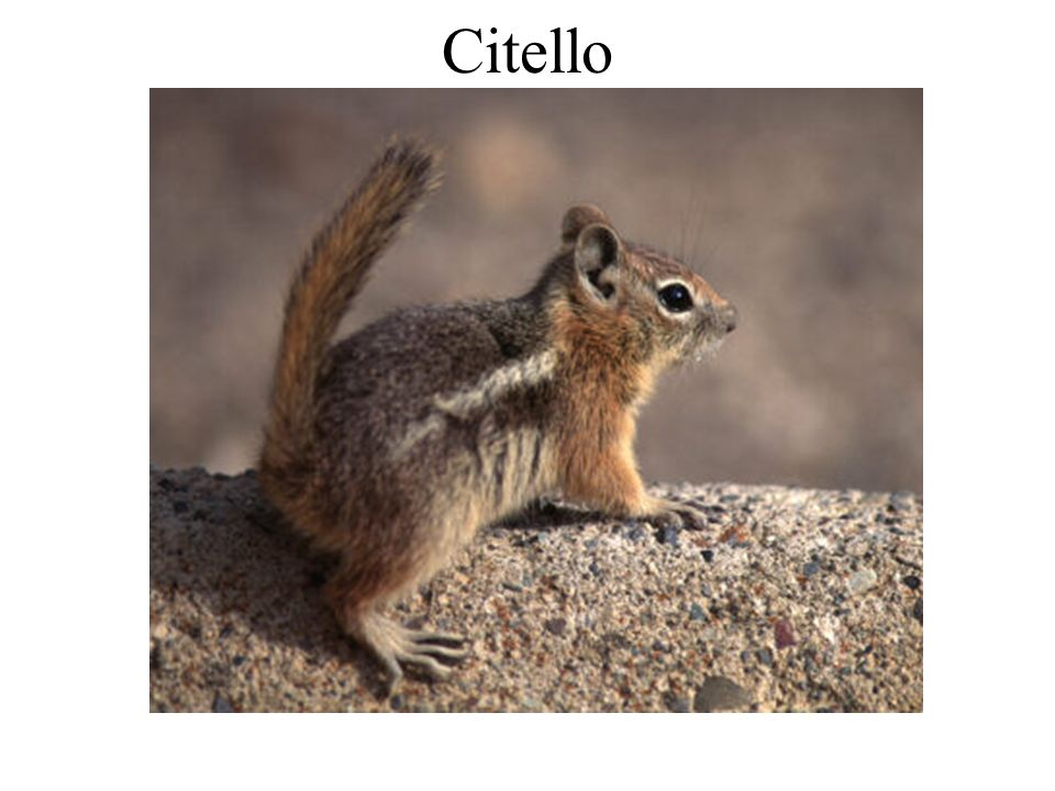 Citello