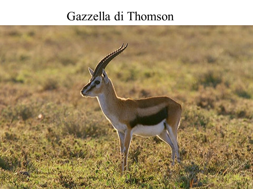 Gazzella di Thomson