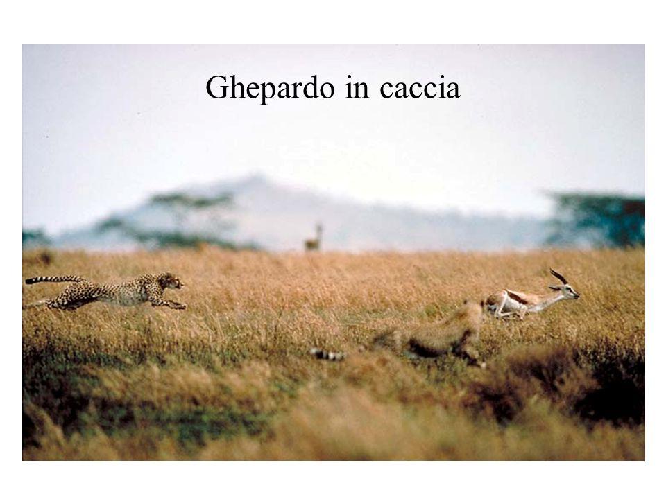 Ghepardo in caccia