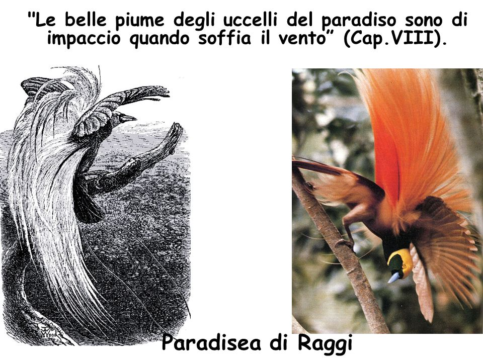 Le belle piume degli uccelli del paradiso sono di impaccio quando soffia il vento (Cap.VIII).