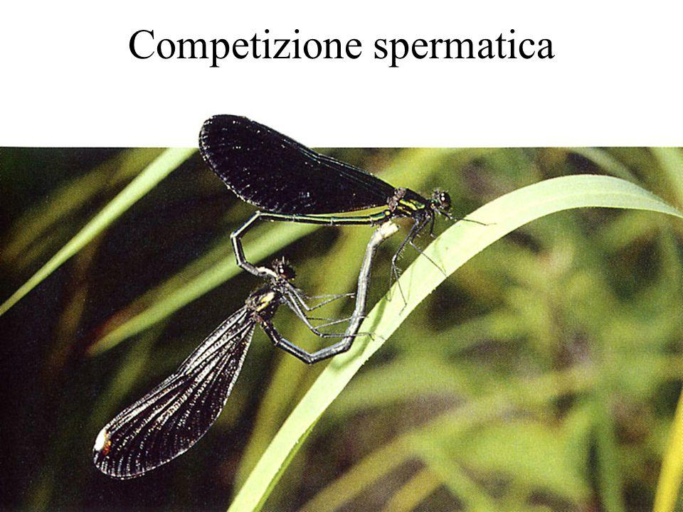 Competizione spermatica