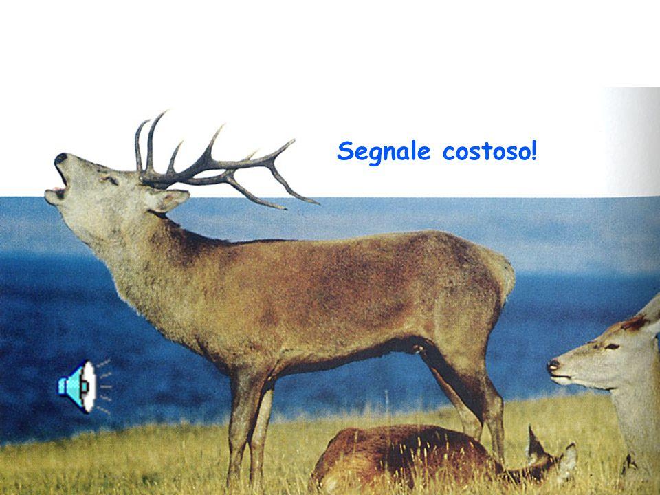 Segnale onesto: la condizione fisica del cervo influenza il numero di bramiti