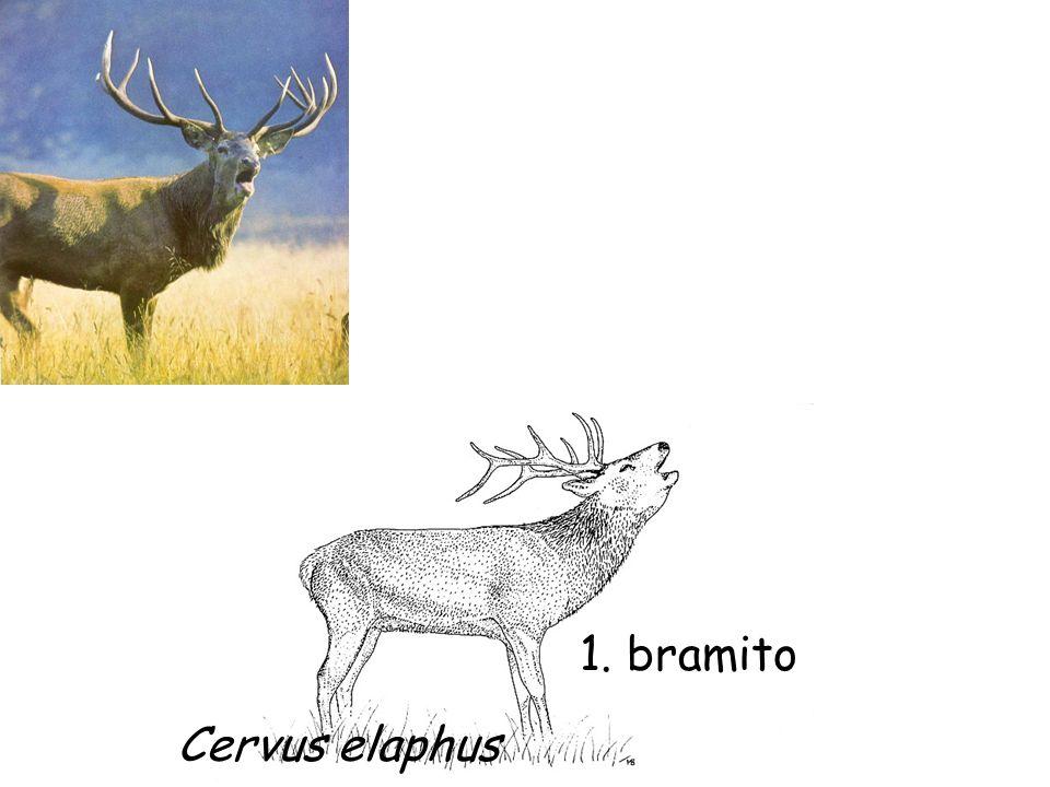 1. bramito Cervus elaphus
