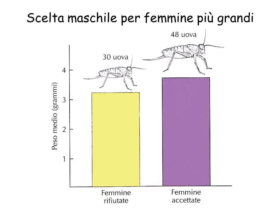 Scelta maschile per femmine più grandi