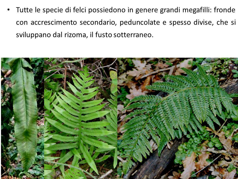 Tutte le specie di felci possiedono in genere grandi megafilli: fronde con accrescimento secondario, peduncolate e spesso divise, che si sviluppano dal rizoma, il fusto sotterraneo.