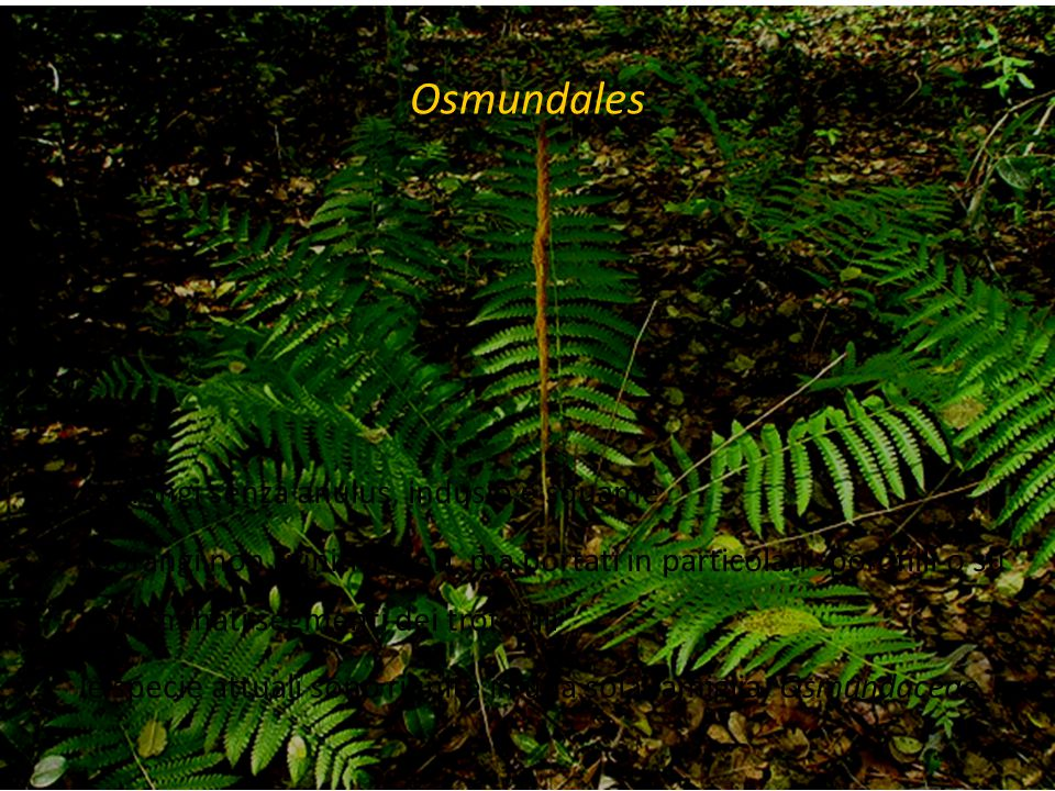 Osmundales sporangi senza anulus, indusio e squame