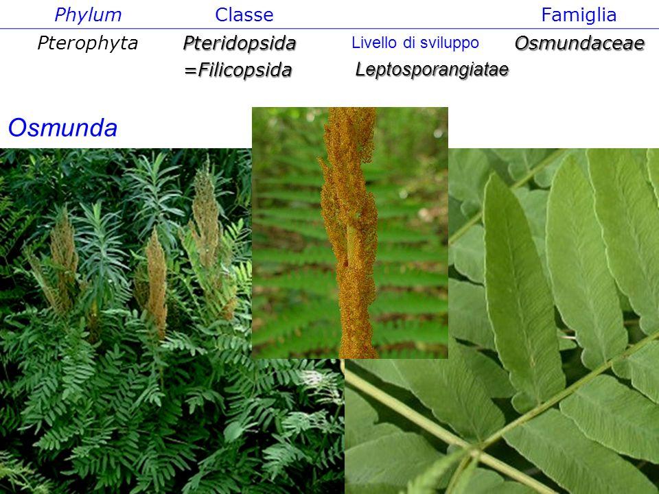 Osmunda Phylum Classe Famiglia Pterophyta Pteridopsida =Filicopsida
