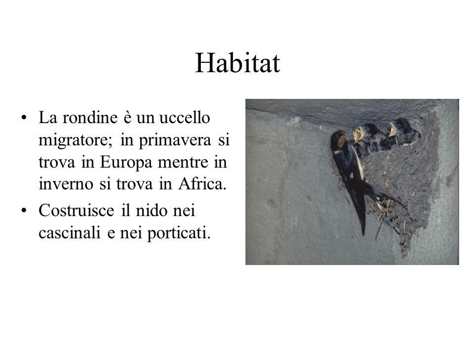 HabitatLa rondine è un uccello migratore; in primavera si trova in Europa mentre in inverno si trova in Africa.