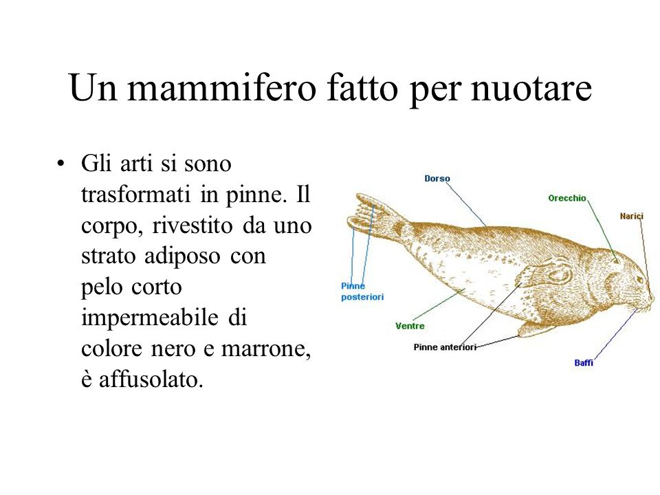 Un mammifero fatto per nuotare