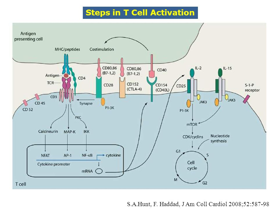 Steps in T Cell Activation
