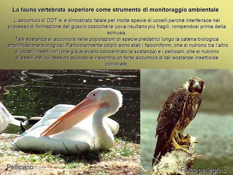 Pellicano Falco pellegrino