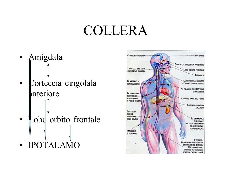 COLLERA Amigdala Corteccia cingolata anteriore Lobo orbito frontale