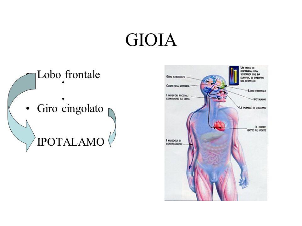 GIOIA Lobo frontale Giro cingolato IPOTALAMO