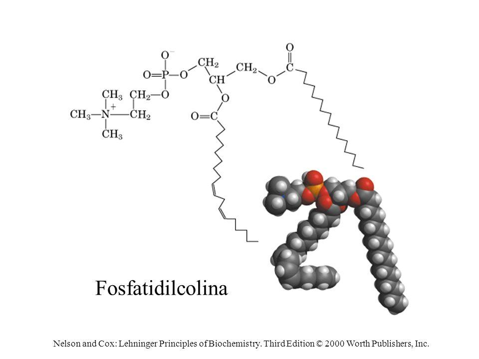 Fosfatidilcolina Nelson and Cox: Lehninger Principles of Biochemistry.
