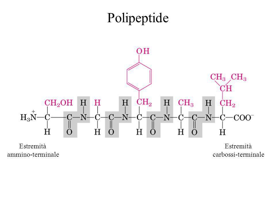 Polipeptide Estremità ammino-terminale Estremità carbossi-terminale