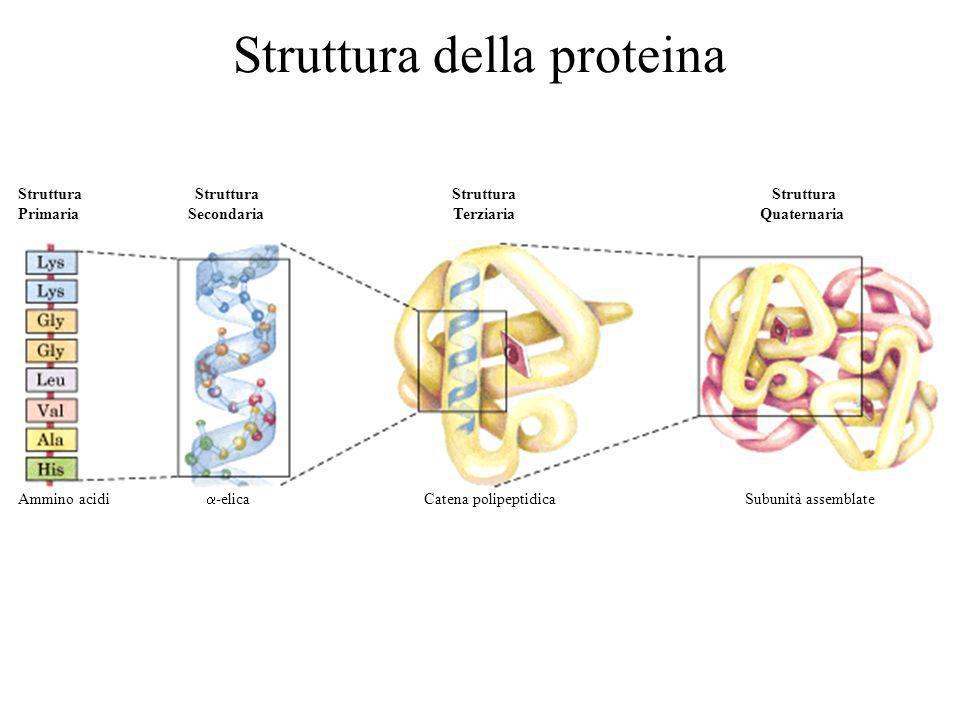 Struttura della proteina