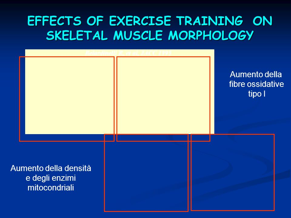 EFFECTS OF EXERCISE TRAINING ON SKELETAL MUSCLE MORPHOLOGY